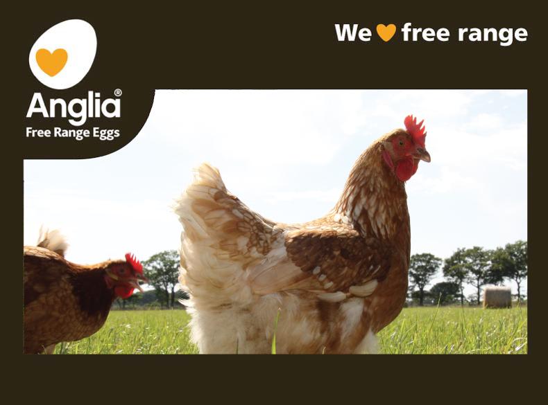 Anglia Free Range Eggs - chickens enjoying the fresh air and green grass field